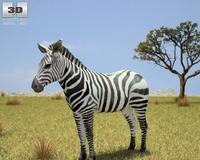 Zebra (Hippotigris) 3D Model