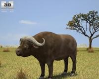 African Buffalo (Syncerus Caffer) 3D Model