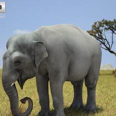 Asian Elephant (Elephas Maximus) 3D Model