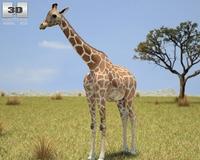 Giraffe (Giraffa Camelopardalis) 3D Model