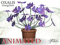 Oxalis triangularis 3D Model