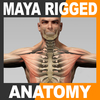 Maya Rigged Human Male Body, Muscular System and Skeleton 3D Model