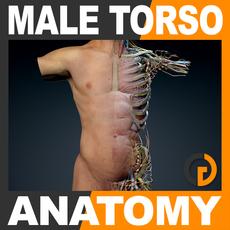Human Male Torso Anatomy 3D Model