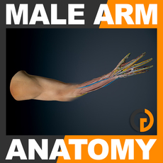 Human Male Arm Anatomy 3D Model