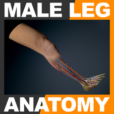 Human Male Leg Anatomy 3D Model