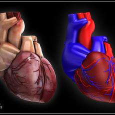 Human heart Vray 3D Model