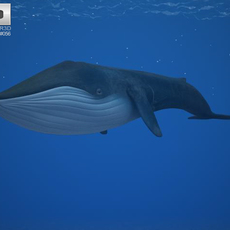 Blue Whale (Balaenoptera Musculus) 3D Model