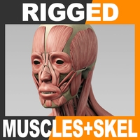 Rigged Human Muscular System and Skeleton 3D Model