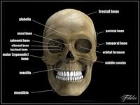 Human skull std mat 3D Model