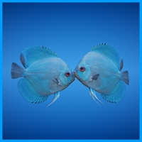 Blue Discus Fish 3D Model