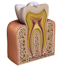 Human Tooth 3D Model