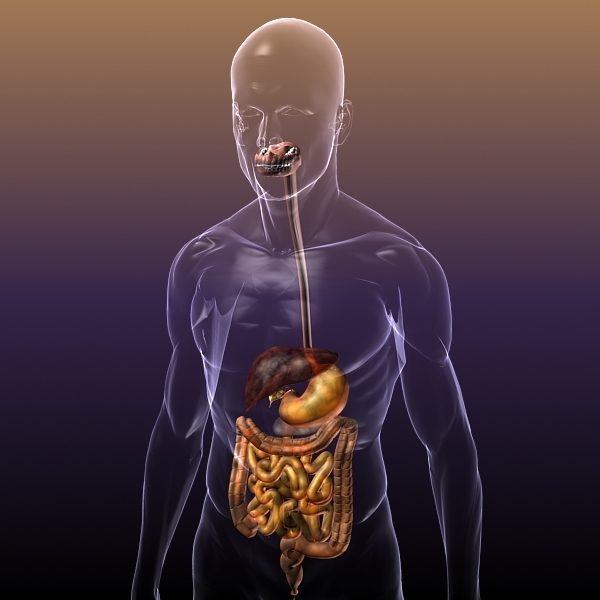 Digestive System In A Human Body Anatomy 3d Model