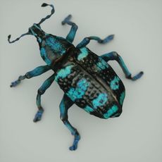 Blue Beetle - Eupholus Quinitaenia 3D Model