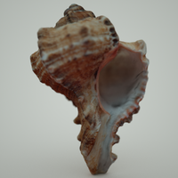 Murex Ramosus Sea Shell 3D Model