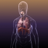 07 34 18 822 lungs respiratory system 3d model free 4