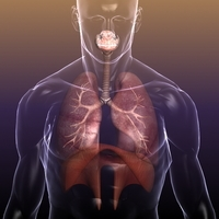 Respiratory System, Lungs in a Human Body 3D Model
