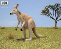 Red Kangaroo (Macropus Rufus) 3D Model