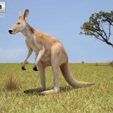 Red Kangaroo (Macropus Rufus) 3D Model