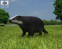 Common Badger (Meles Meles Meles) 3D Model