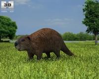 Beaver (Castor Canadensis) 3D Model