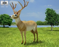 White-Tailed Deer (Odocoileus Virginianus) 3D Model