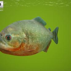 Red-Bellied Piranha (Pygocentrus Nattereri) 3D Model