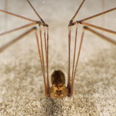 Spider Pholcus Phalangioides 3D Model