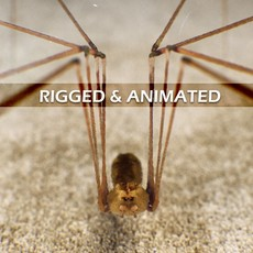 Spider Pholcus Phalangioides Rigged & Animated 3D Model