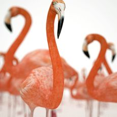 Flamingo 3D Model