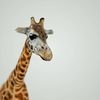 07 57 41 528 mark florquin giraffe africa 3d model 2 4
