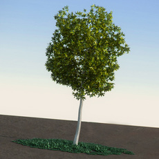Acacia Dealbata broadleaves tree 3D Model