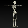 09 19 33 217 realistic skeleton 12 4