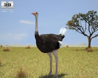Ostrich (Struthio Camelus) 3D Model