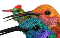 Humming Bird Bundle for maya 2010 3D Model