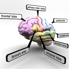 Educational Brain with Lobes Regions Parts Names (Render Ready) 3D Model