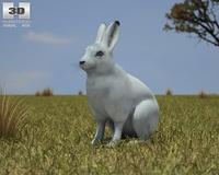 Arctic Hare (Lepus Arcticus) 3D Model
