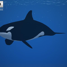 Killer Whale (Orcinus Orca) 3D Model