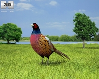 Common Pheasant (Phasianus Colchicus) 3D Model