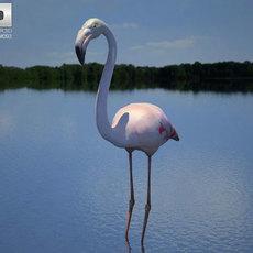 Flamingo (Phoenicopterus) 3D Model