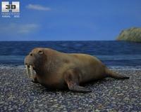 Walrus (Odobenus Rosmarus) 3D Model