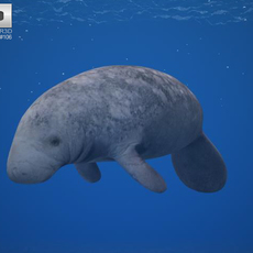 West Indian Manatee (Trichechus Manatus) 3D Model