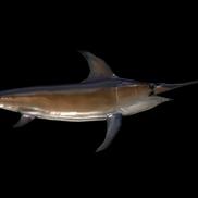 Swordfish small