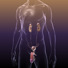 Reproductive and Urinary System of a Human 3D Model