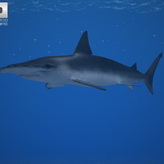 Smooth Hammerhead (Sphyrna Zygaena) 3D Model