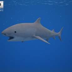 Tiger Shark (Galeocerdo Cuvier) 3D Model