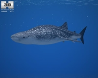 Whale Shark (Rhincodon Typus) 3D Model