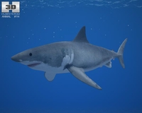Great White Shark (Carcharodon Carcharias) 3D Model