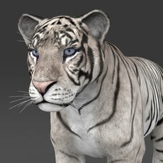 Realistic White Tiger 3D Model