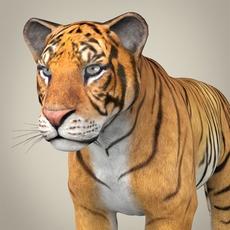 Realistic Bengal Tiger 3D Model