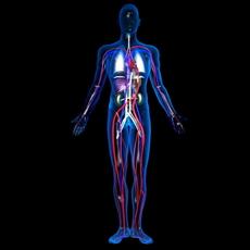 Human blood vessels 3D Model